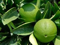 лимонник фото разновидности